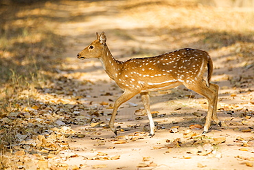 Axis deer hind on a track, Bandhavgarh NP India