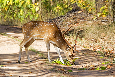 Axis deer eating on a track, Bandhavgarh NP India