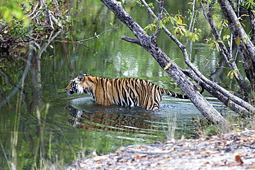 Bengal tiger crossing a stretch of water -Bandhavgarth India