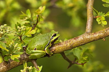 Common Tree Frog on a branch, Denmark