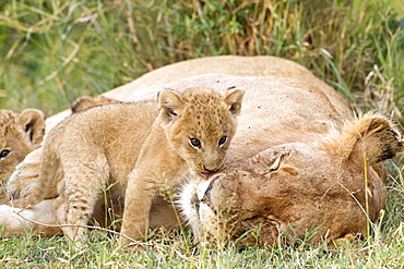 Lioness and cubs lying in the grass, Masai Mara Kenya