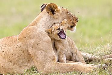 Lioness and cub lying in the grass, Masai Mara Kenya