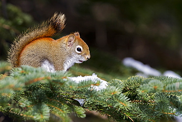 American Red Squirrel on a branch in winter, Quebec Canada