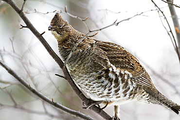 Ruffed grouse eating a bud, Quebec Canada