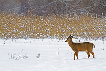 White-tailed deer in the snow in winter, Quebec Canada