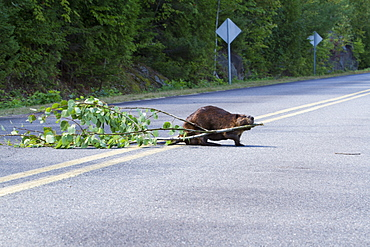 Castor pulling the branches on a road, Quebec Canada