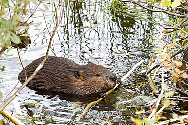 Beaver gnawing a branch in water, Quebec Canada