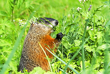 Woodchuck eating on grass, Quebec Canada