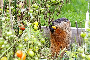 Woodchuck eating in kitchen garden, Quebec Canada