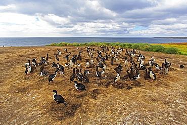 Colony of King Shags, Falkland Islands