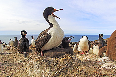 King Shag and chick at nest, Falkland Islands