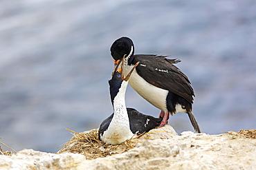 King Shags at nest, Falkland Islands