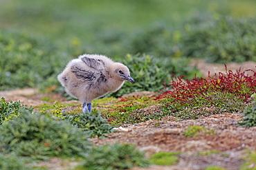 Southern skua chick on ground, Falkland Islands