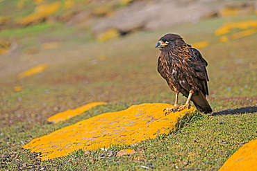 Striated Caracara on rock covered with lichen, Falklands
