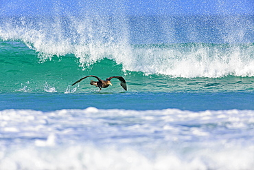 Southern Giant Petrel off past a wave, Falkland Islands
