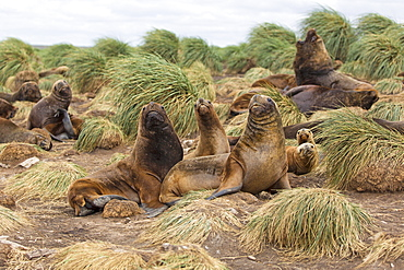 South American Sea lions and Tussock Grass, Falkland island
