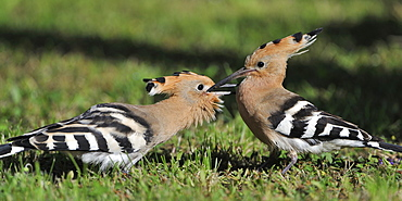 Hoopoe feeding its young in the grass, France