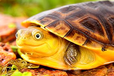 Portrait of young Gabon Mud Turtle