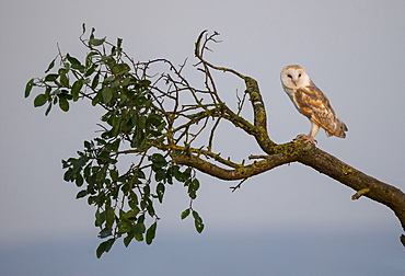 Barn Owl perched on a tree in autumn, GB
