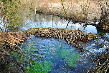 European Beaver dam on a backwater of the river Ain, France