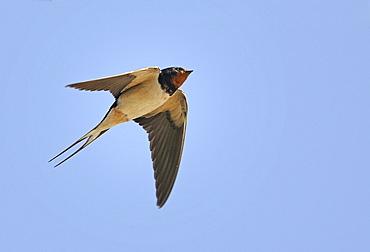 Barn Swallow in flight, PNR Northern Vosges France