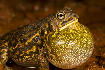 Toad singing on bank, La Ruvubu NP Burundi