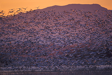 Snow Geese in flight at twilight