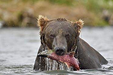 Portrait of Grizzly catching a Salmon, Katmai Alaska USA