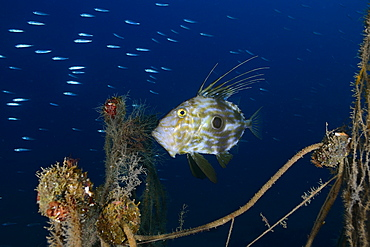 John Dory and abandoned fishing net, Mediterranean Sea