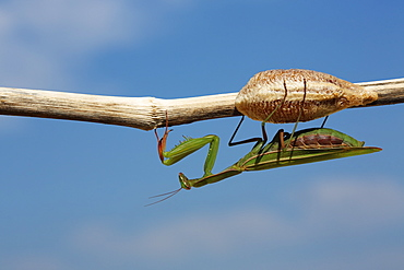 Praying mantis and Ootheca on a branch, France