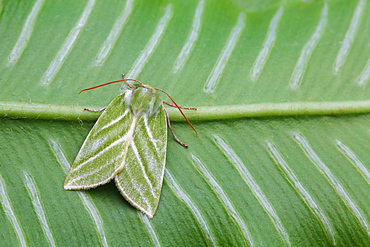 Green Silver-lines on a green leaf ridged, France