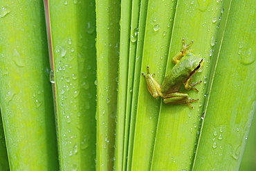 Green tree frog on leaf under the rain, Brittany France