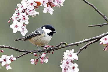 Coal Tit on blossom- Warwickshire England UK