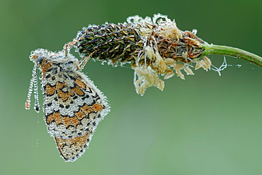 Glanville Fritillary on Plantain, Prairie Fouzon France