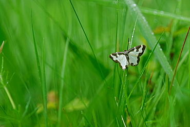 Clouded Border Moth on grass, Prairie Fouzon France