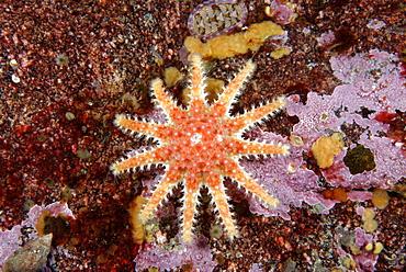 Spiny Sunstar on reef, Alaska Pacific Ocean