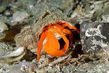 Pacific red hermit crab on reef, Alaska Pacific Ocean