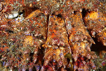 Paws of Puget Sound king crab, Alaska Pacific Ocean