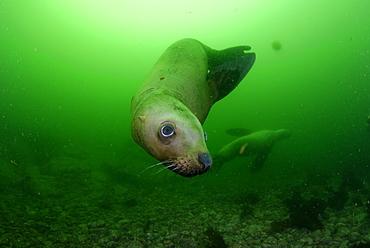 Steller sea lion underwater, Kasaan bay Alaska