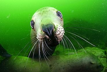 Portrait of Steller sea lion underwater, Kasaan bay Alaska