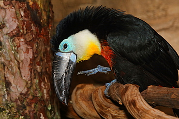 Channel-billed toucan on a branch