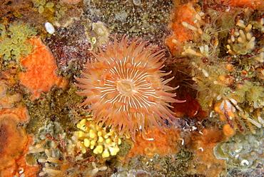 Giant brooding anemone on reef, Alaska Pacific Ocean