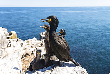 European Shag on chicks at nest on cliff, British Isles