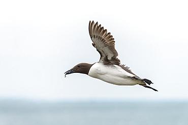 Common Guillemot in flight with prey, British Isles