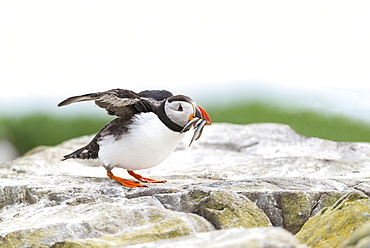 Atlantic Puffin on cliff with prey, British Isles