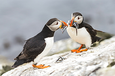 Atlantic Puffins on cliff with prey, British Isles