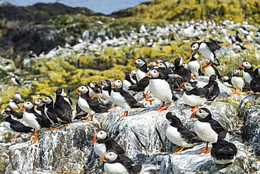 Atlantic Puffins colony on cliff, British Isles