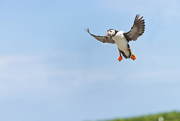 Atlantic Puffins flying, British Isles