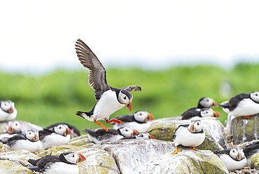 Atlantic Puffins landing, British Isles
