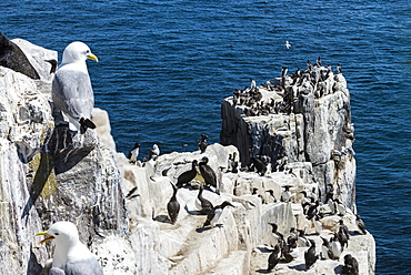Kittiwakes on cliff, British Isles